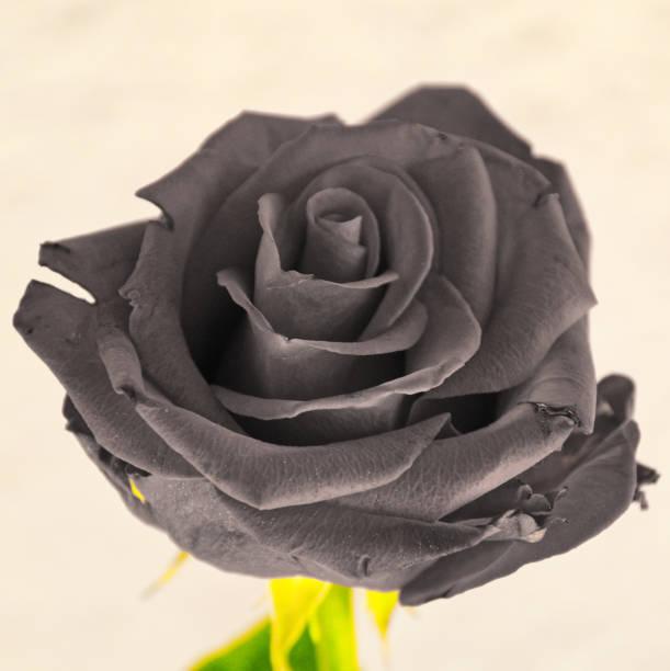 A grey rose stock photo