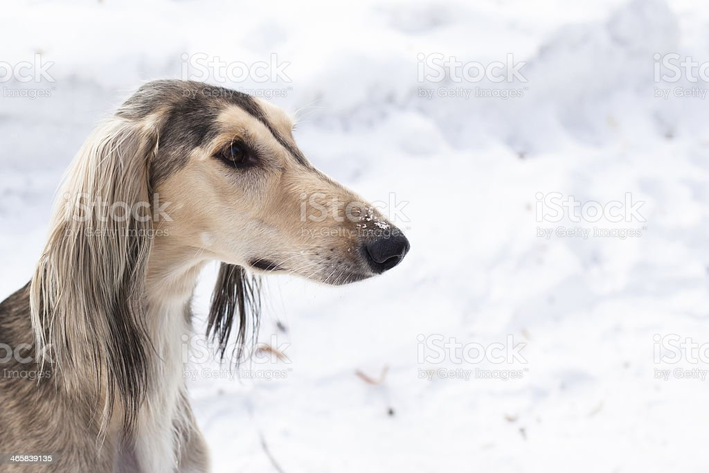Grey saluki portrait stock photo
