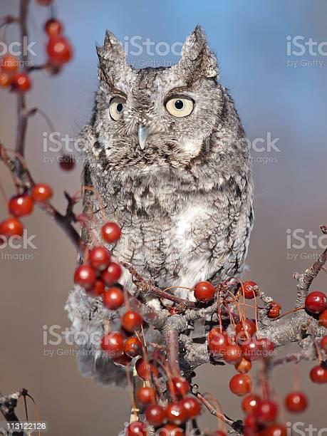 Grey screech owl picture id113122126?b=1&k=6&m=113122126&s=612x612&h=huls4wbojwkvtcgdqqc3uvbws4jyke bg1rnbod3wma=