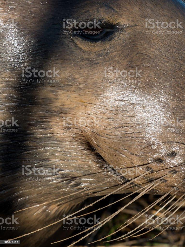 Grey seal adult female stock photo