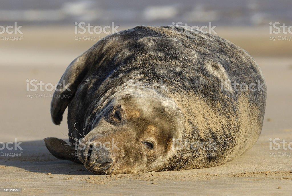 Grey seal bull dozing royalty-free stock photo