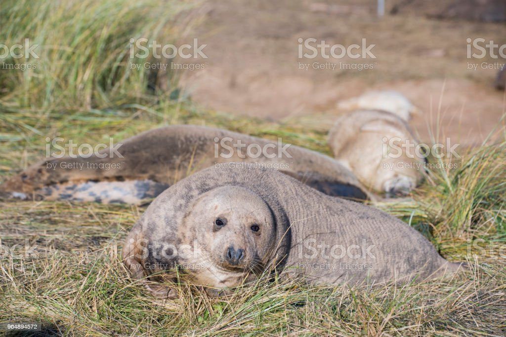 Grey Seal, Donna Nook, Lincolnshire, UK royalty-free stock photo