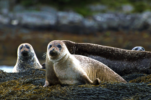 A grey seal family resting on rocks exposed during low tide in Scotland