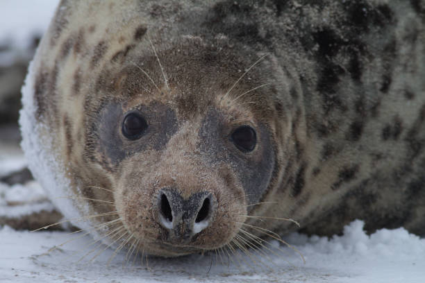 grey seal, Grijze zeehond, Halichoerus grypus, vrouwtje kegelrob duitsland stock pictures, royalty-free photos & images