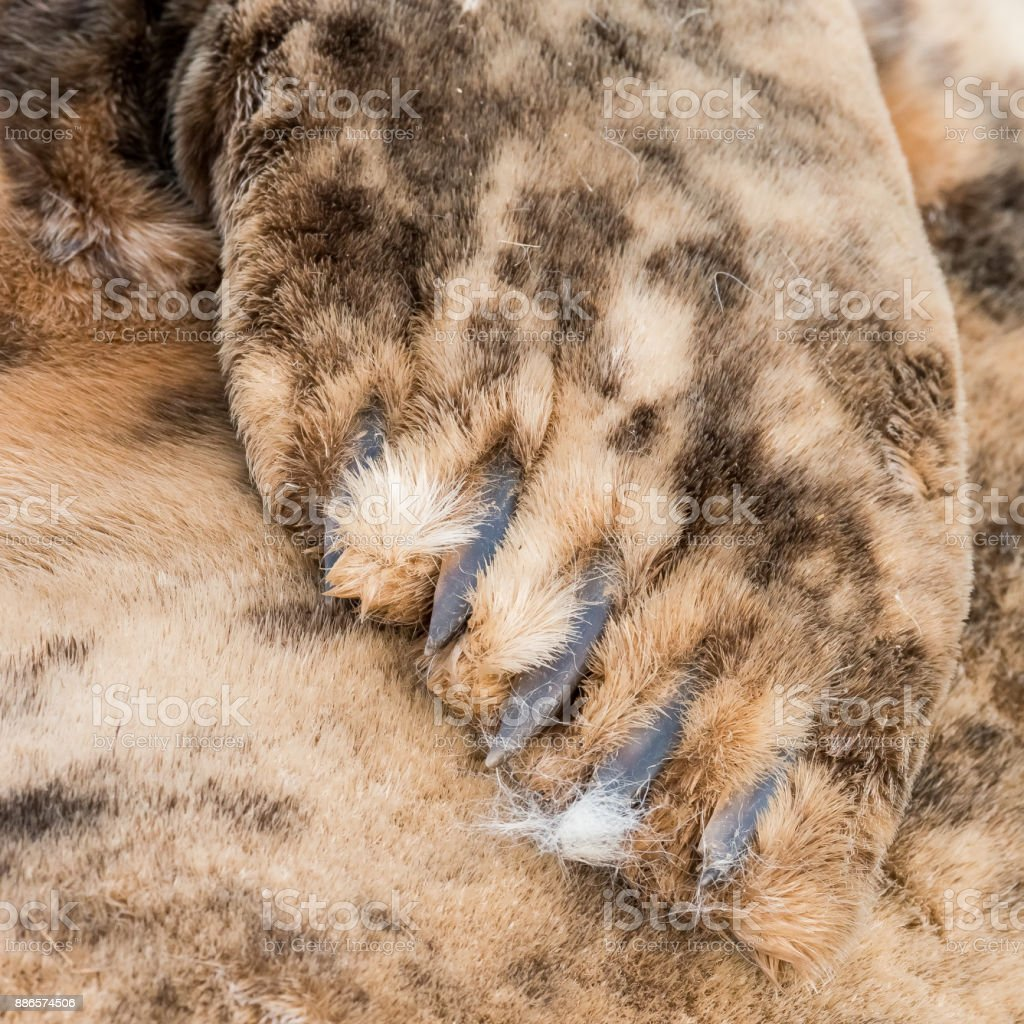 Grey seal mother's flipper showing pup's fur stock photo