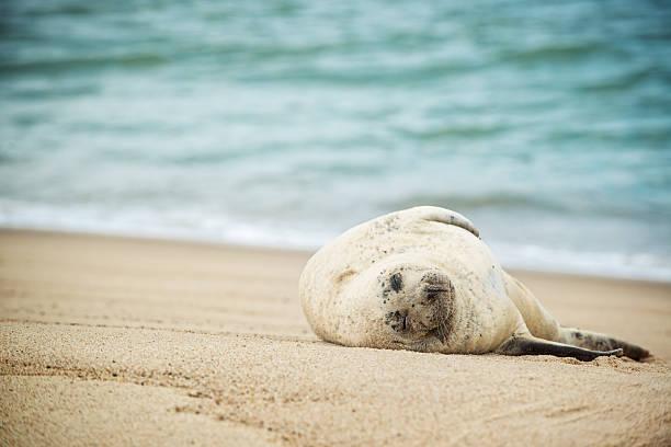 Grey Seal on Sable Island stock photo