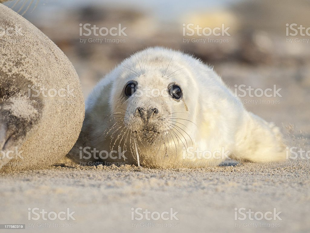 Grey Seal (Halichoerus grypus) on the Beach stock photo