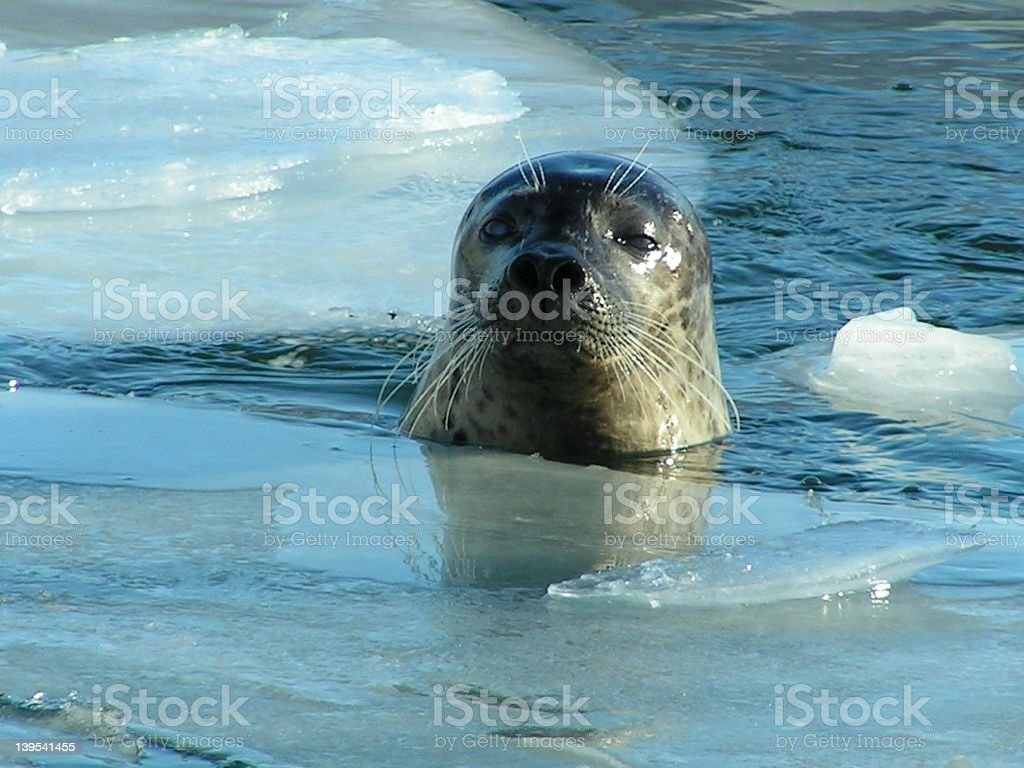 grey seal peaking through the ice royalty-free stock photo