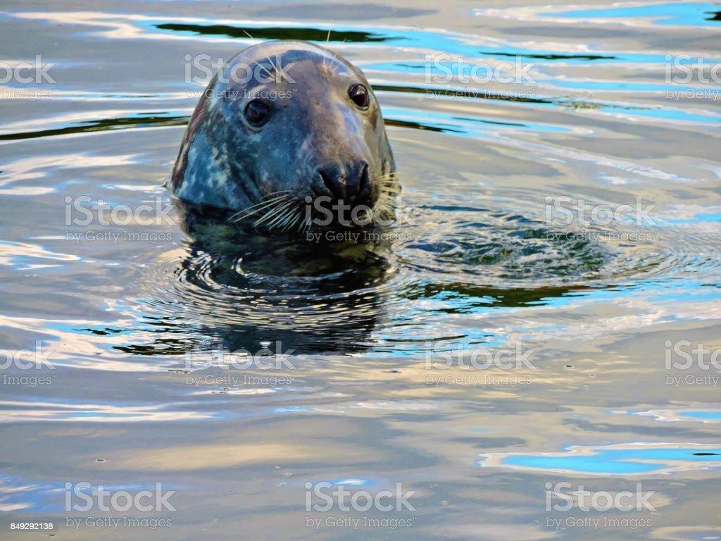 Grey Seal (Halichoerus Grypus). – Foto