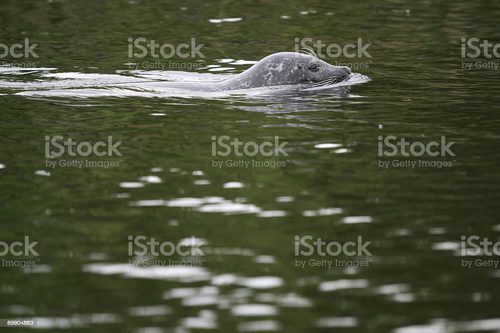 Grey Seal royalty-free stock photo