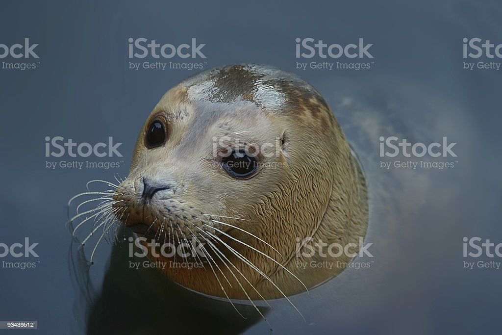 Grey Seal royalty-free stock photo