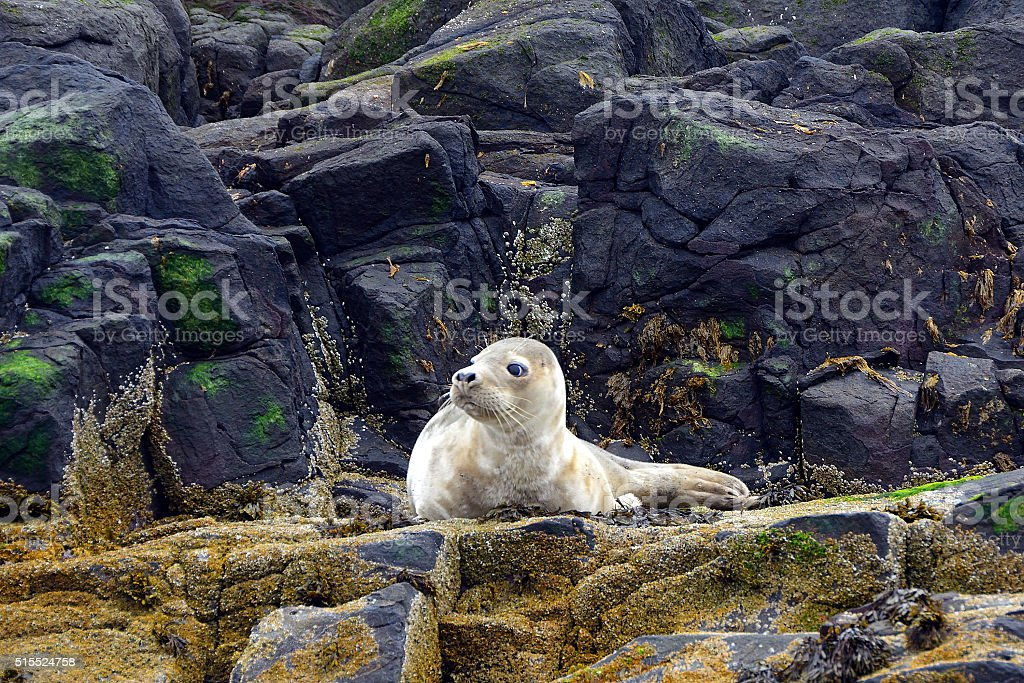 Grey seal pup, Farne Islands Nature Reserve, England stock photo