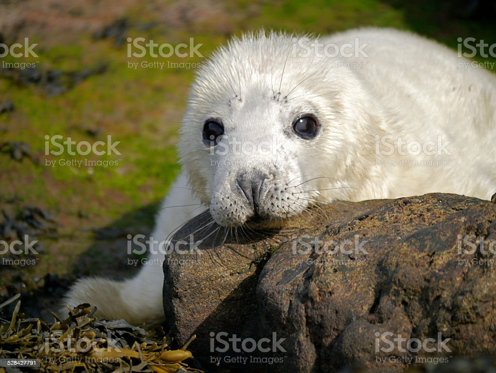 Grey Seal Pup head resting stock photo