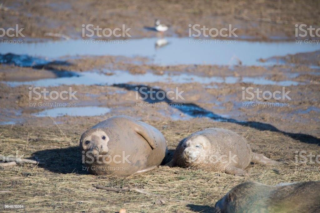 Grey Seal Pup & Mother, Donna Nook, Lincolnshire, UK royalty-free stock photo