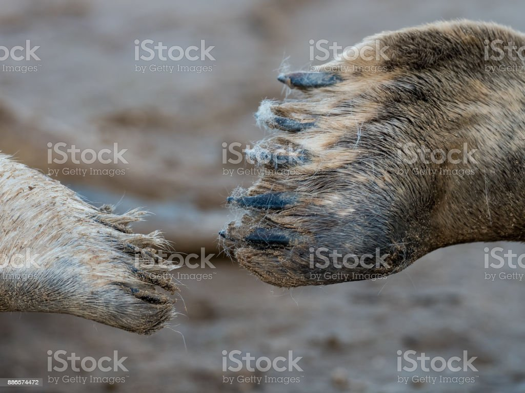 Grey seal pup & mother, touch flippers stock photo