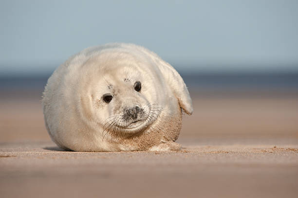 Grey Seal Pup A young Grey Seal pup waiting for its' mother to return from hunting, and taking an interest in the camera..  Photographed at Donna Nook on the Lincolnshire coast in the United Kingdom. seal pup stock pictures, royalty-free photos & images
