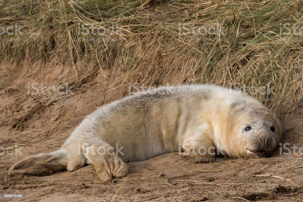 Grey seal pup stock photo