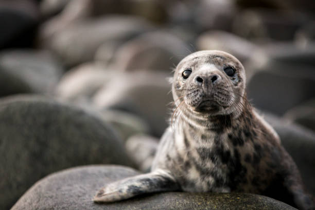 Grey Seal Pup A baby seal perched up on the rocks looking straight at the camera, ready to hear all your problems. seal pup stock pictures, royalty-free photos & images