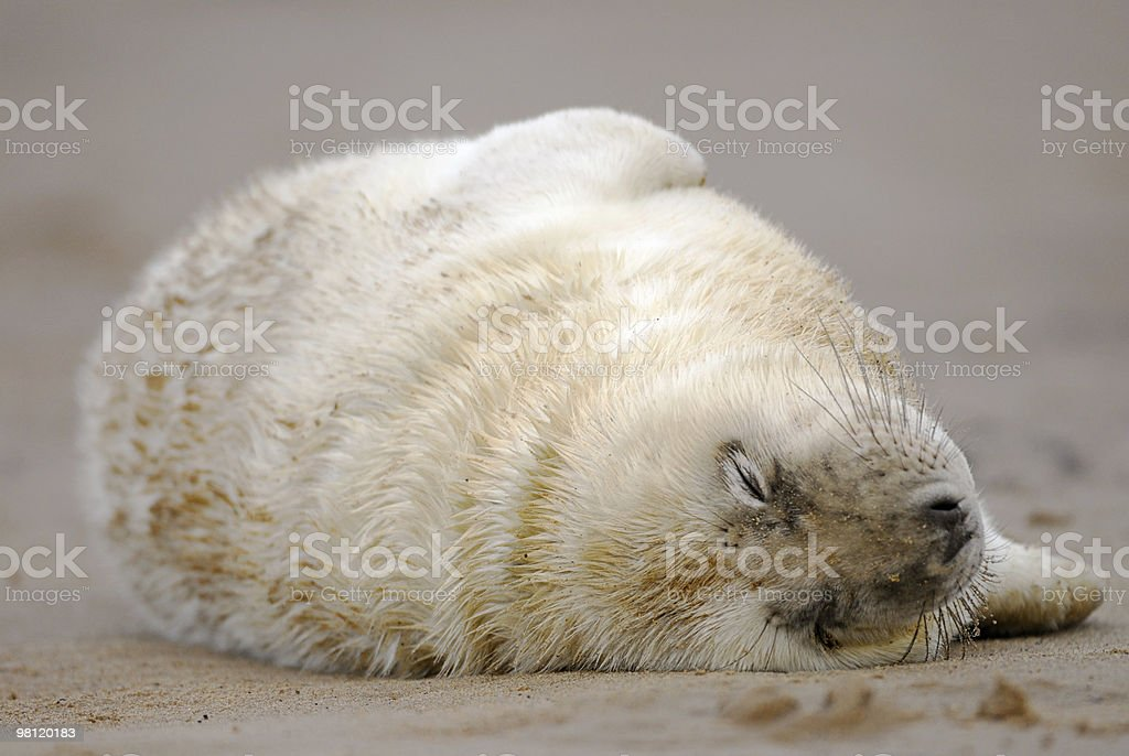Grey seal pup sleeping royalty-free stock photo