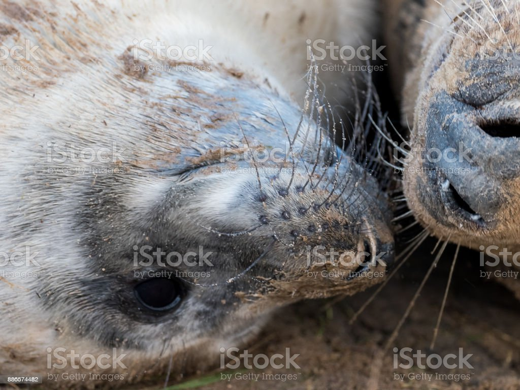 Grey seal pup with mother stock photo