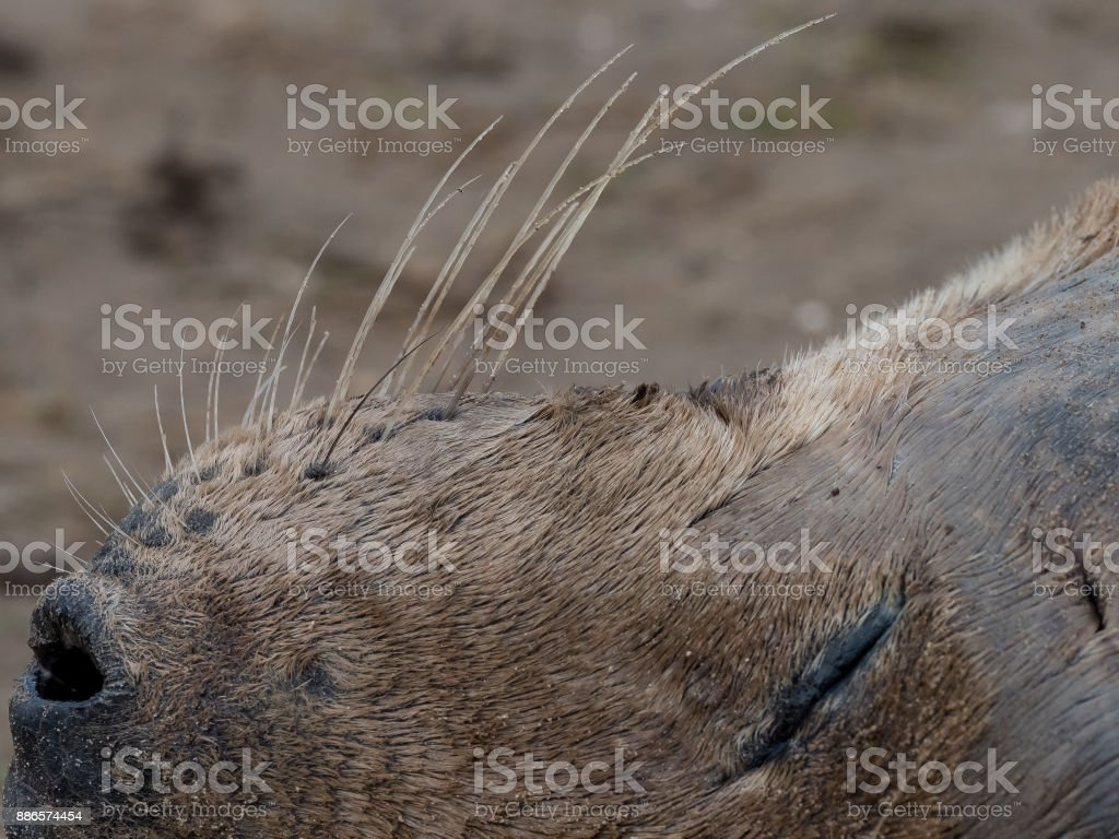 Grey seal whiskers stock photo