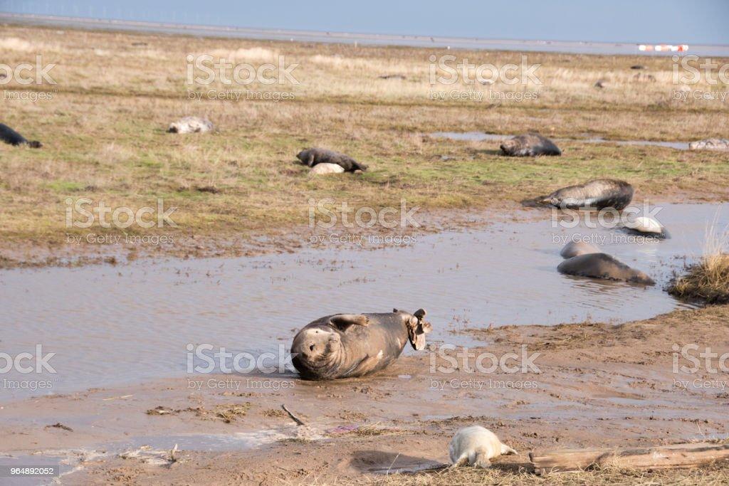灰色封印, 唐娜角落, 林肯郡, 英國 - 免版稅-動物群圖庫照片