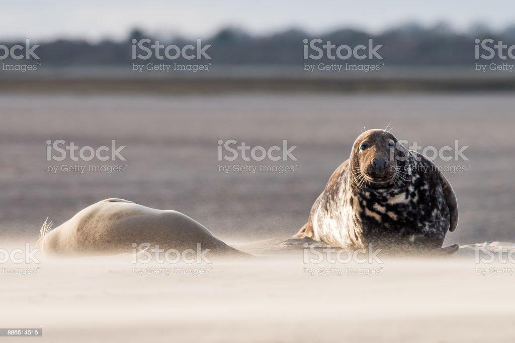 Grey seals stock photo