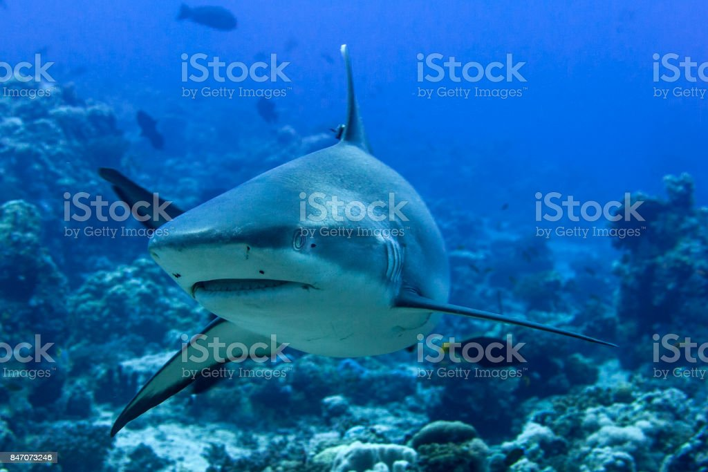 Grey shark ready to attack underwater in the blue stock photo