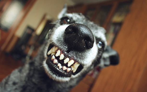 Grey shepherd grins in the house Grey shepherd grins in the house animal saliva stock pictures, royalty-free photos & images