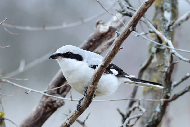 Grey Shrike Lanius excubitorsits on a branch, close up stock photo
