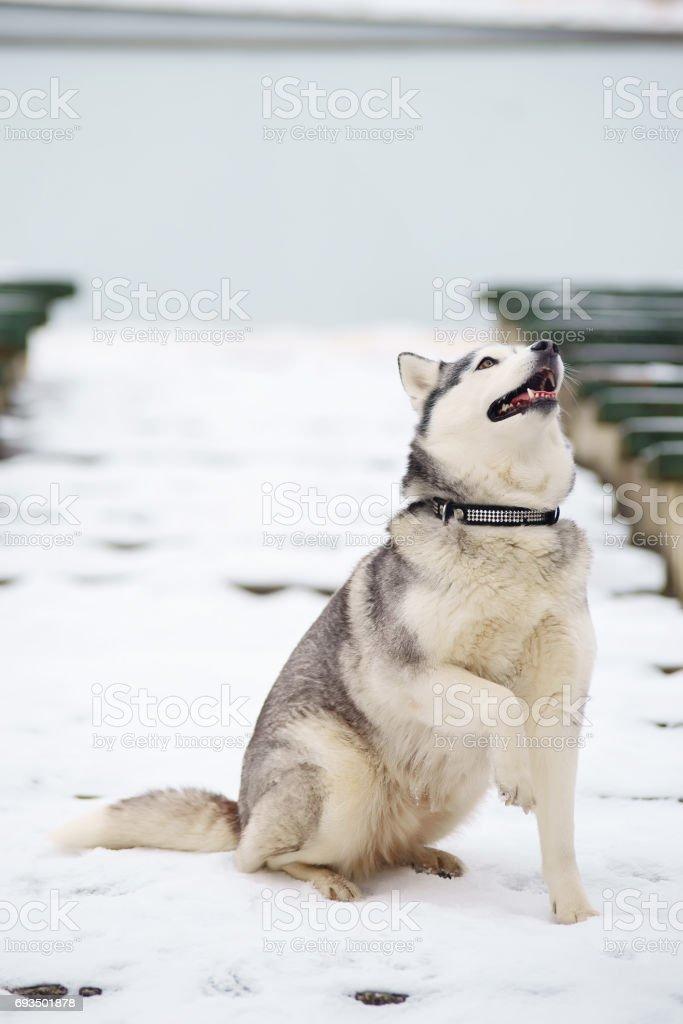 Fine Siberian Husky Anatomy Inspiration - Anatomy Ideas - yunoki.info