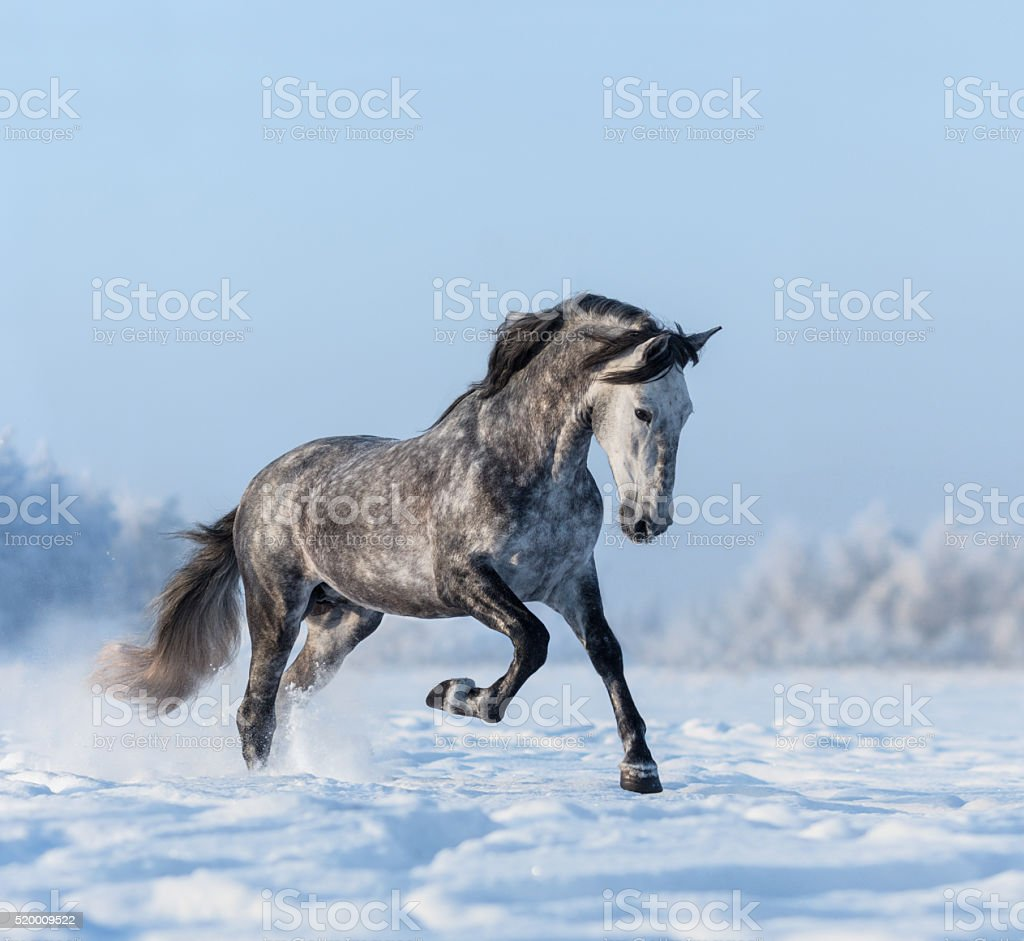 Grey Spanish horse gallops on snowfield stock photo