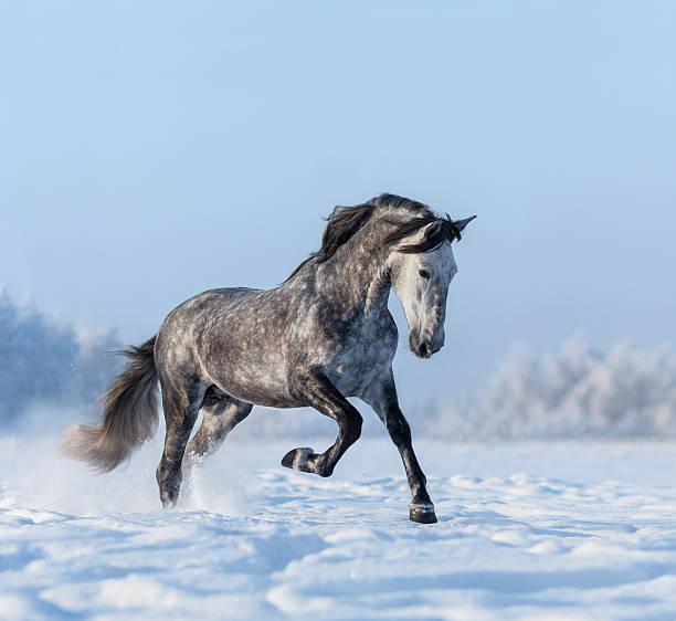 grau spanischen pferd galoppaden auf schneefeld - andalusier pferd stock-fotos und bilder