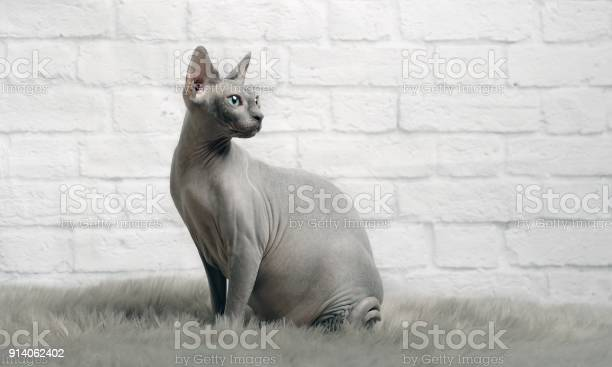 Grey sphynx cat sit on a fur blanket and look sideways picture id914062402?b=1&k=6&m=914062402&s=612x612&h=8aat udqlyey2j56ilgck7bp8bvoovtotirrbw54roi=