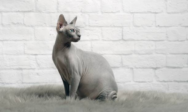 Grey sphynx cat sit on a fur blanket and look sideways picture id914062402?b=1&k=6&m=914062402&s=612x612&w=0&h=clsb  nnaaq9cnx6yy4xao p6v9bupvnh0tby40u9kg=