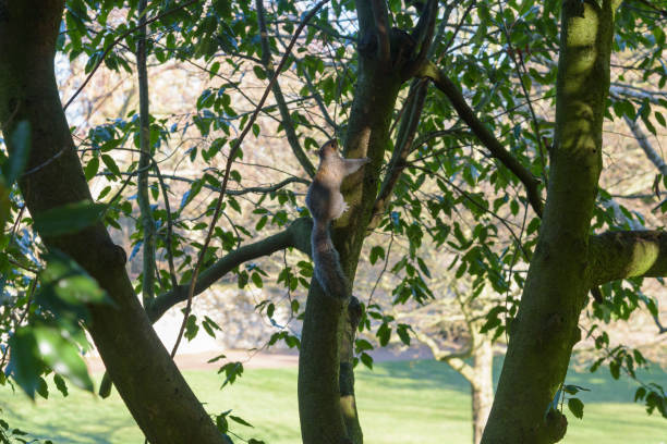 Grey Squirrel climbing up a tree stock photo