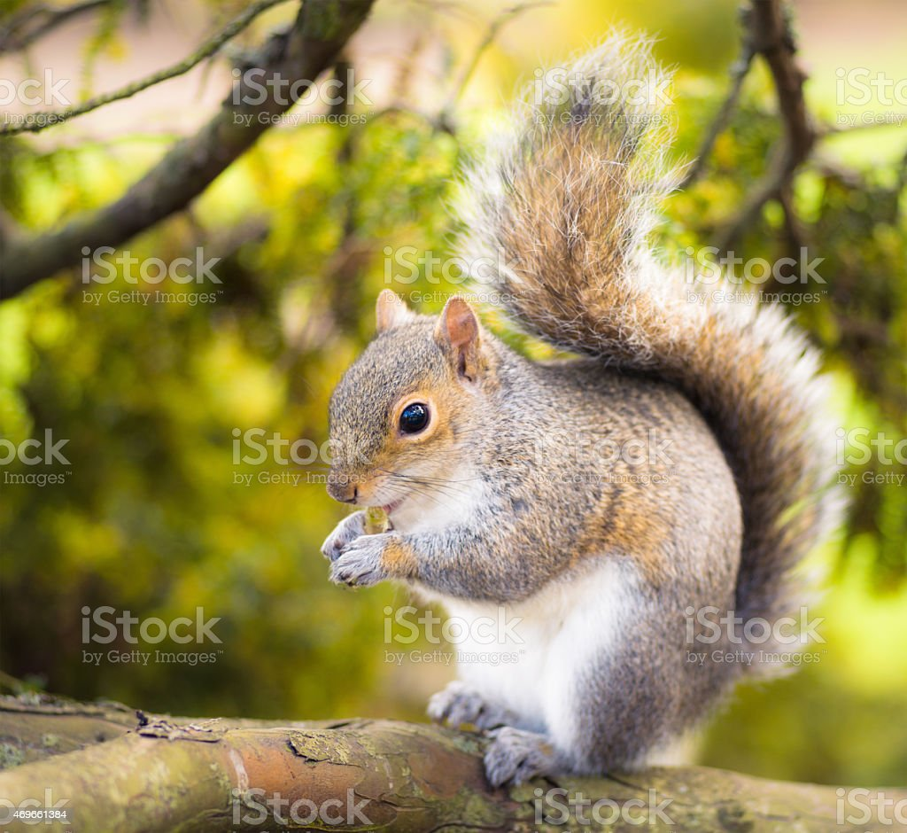 Grey squirrel close-up stock photo