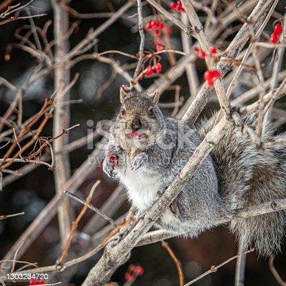 istock Grey Squirrel, (Sciurus carolinensis), Eastern gray squirrel, Viorne obier, (Viburnum opulus), pink guelder. 1303234720