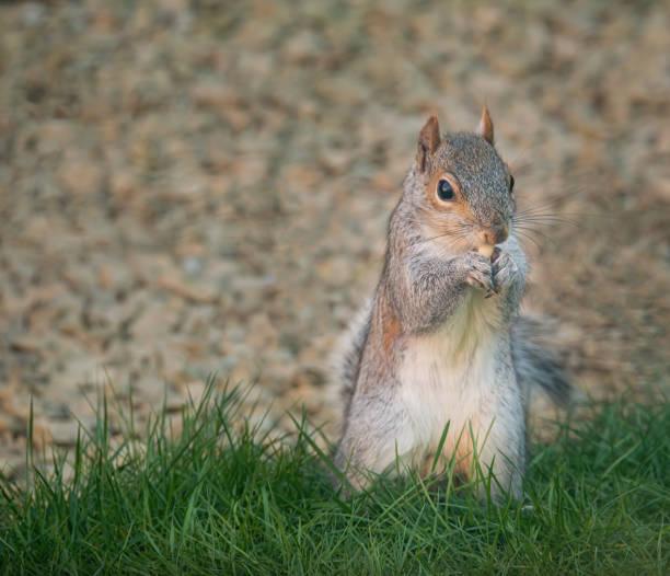 Grauhörnchen essen eine Nuss – Foto