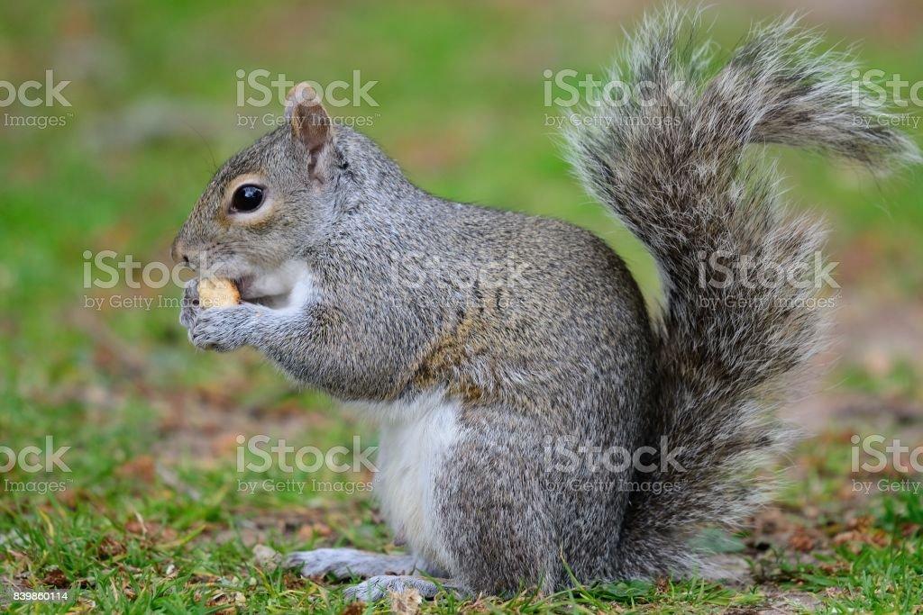 ardilla gris comer una tuerca - foto de stock