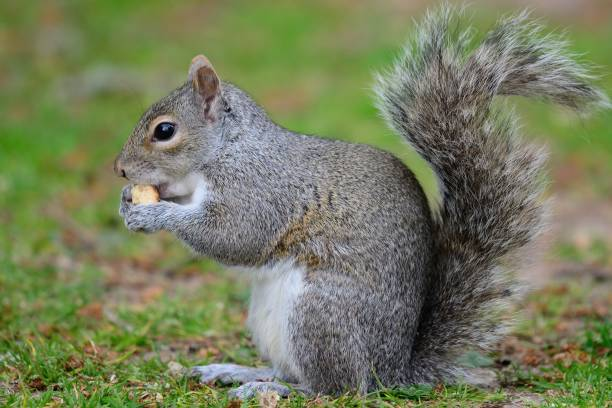grey squirrel eating a nut - squirrel stock photos and pictures