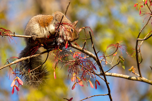 Grey Squirrel eating maple tree seed pods in wilmington, north carolina