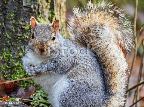 istock Grey Squirrel eating nuts 1194322137