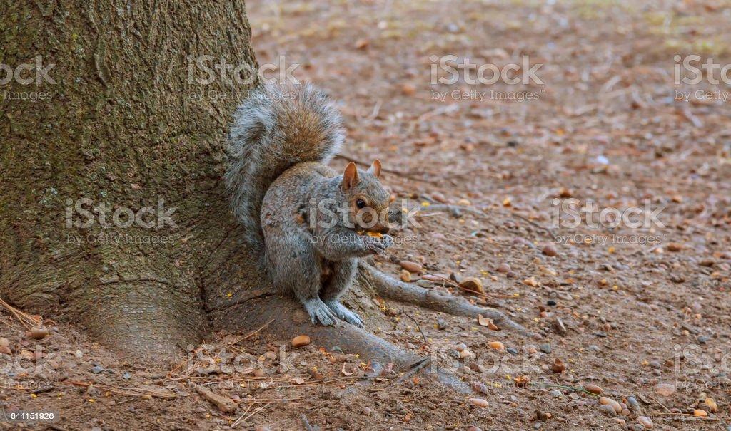 Grey Squirrel feeding on Chestnuts in Autumn stock photo