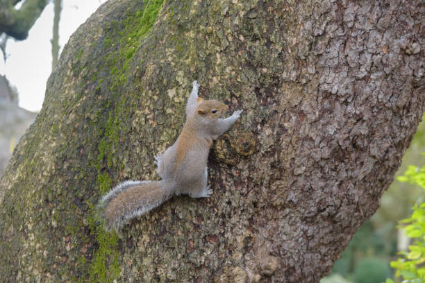 Grey Squirrel hanging on tree and looking right stock photo