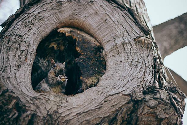 Grey squirrel in his drey