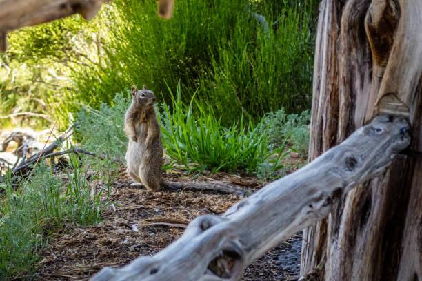 A grey squirrel in Mesa Verde National Park, Colorado stock photo