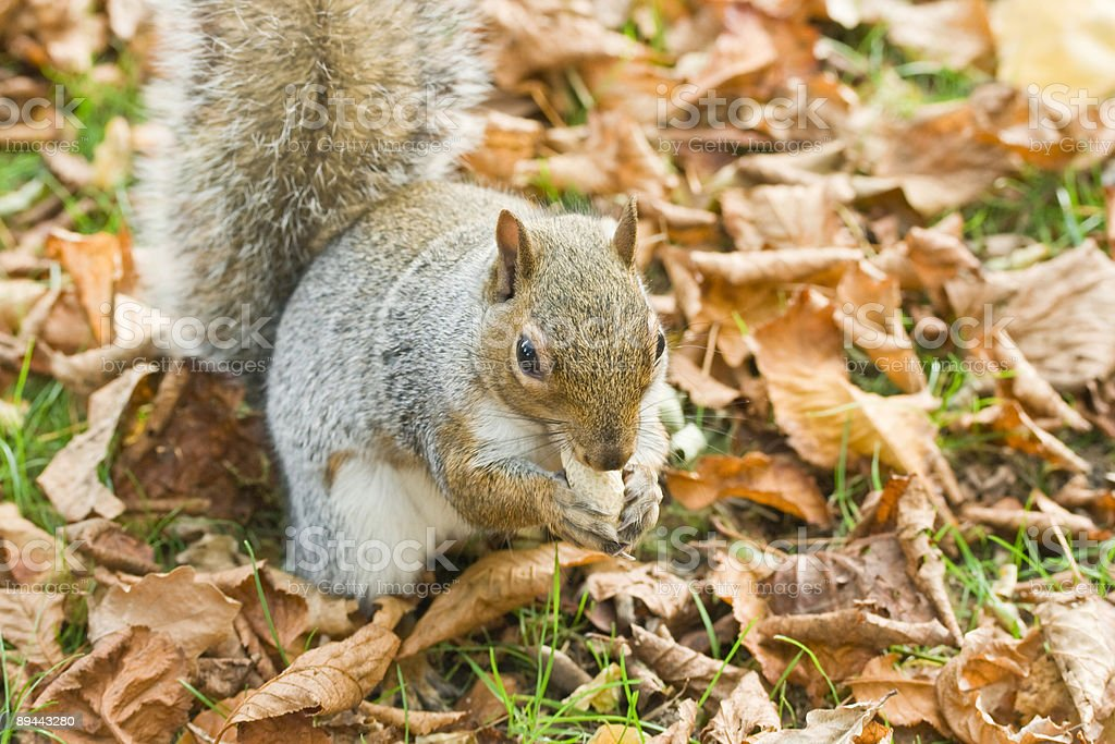 Grey squirrel in the park (autumn) royalty-free stock photo