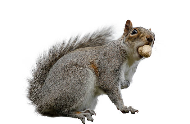 grey squirrel isolated on white - squirrel stock photos and pictures