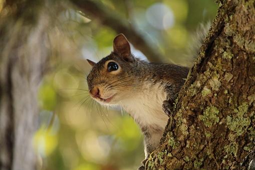 grey squirrel on a branch